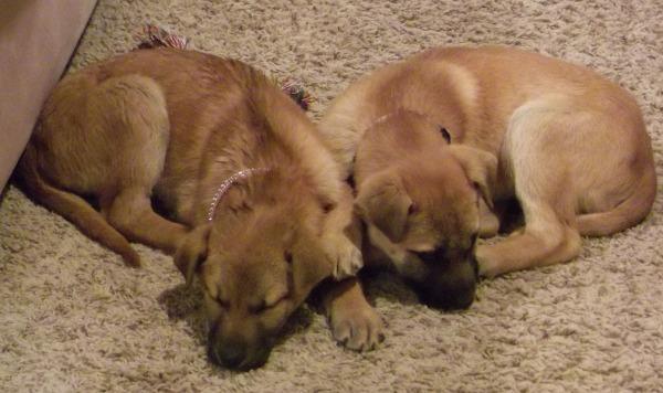 adopting puppies