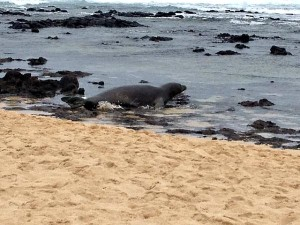 Monk seal in the wild